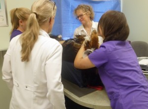 Dr. Lowry from Mountain Vet Radiology performing an ultrasound.